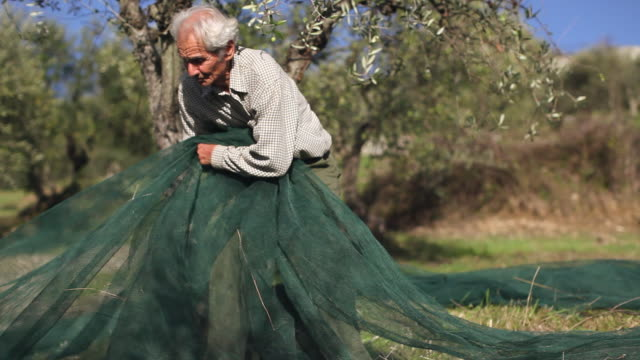 ms pan old man collects nets for picking olives / castellina in chianti, tuscany, italy - picking harvesting stock videos & royalty-free footage
