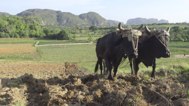 old man farmer working with two bulls at viñales valle valley. cuba. rural area with tobacco plantations close to pinar del rio. two working animals carrying the plow. - pflug stock-videos und b-roll-filmmaterial