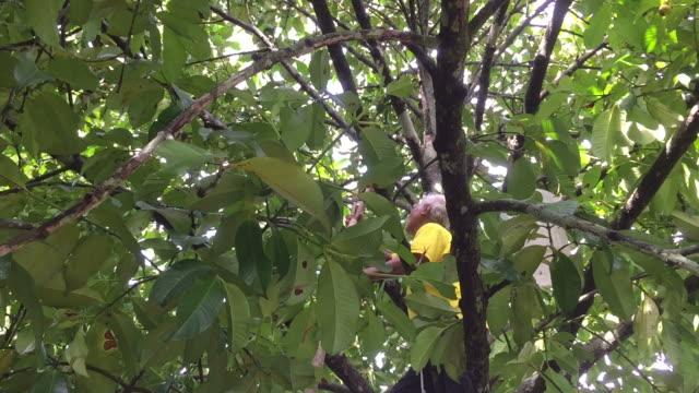 greis, die ernte der mangostan-frucht am baum - tropischer baum stock-videos und b-roll-filmmaterial