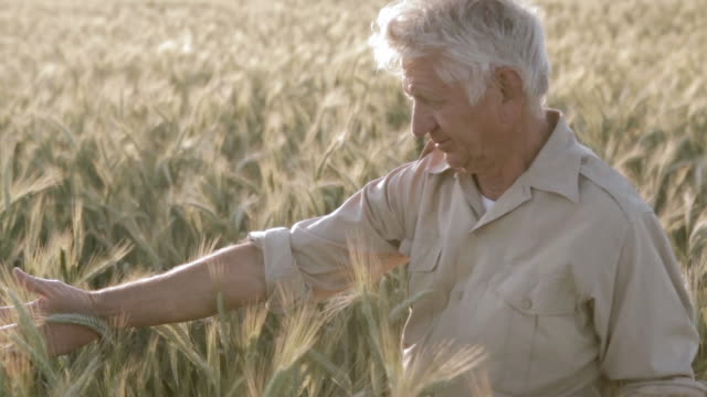 vídeos y material grabado en eventos de stock de ms old man in wheat field / corsept, loire atlantique, france - un solo hombre mayor