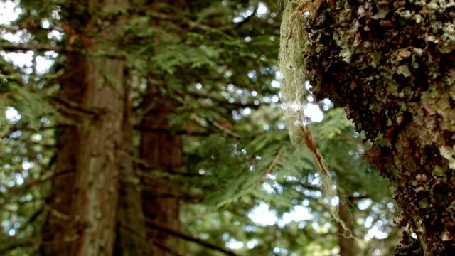 old man's mans beard lichen macro wet rainy cascade mountain oregon forest in spring - 地衣類点の映像素材/bロール