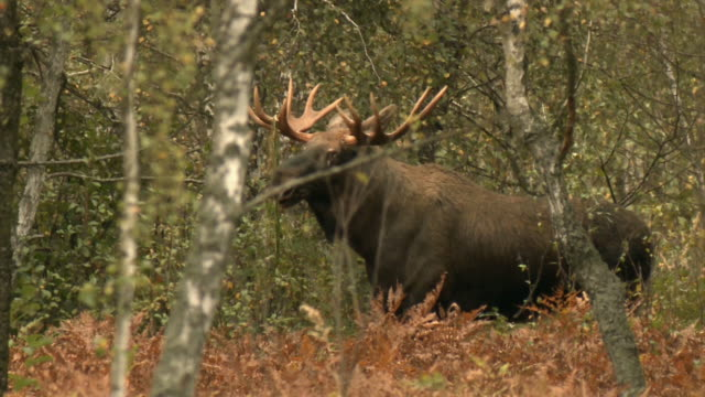 old moose - elk stock videos & royalty-free footage