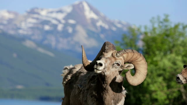 Old mountain sheep in the mountains