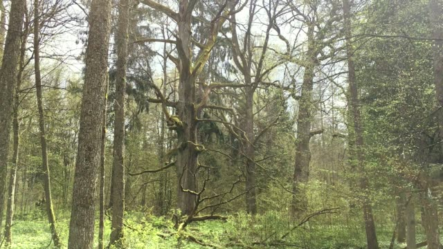 old oak in forest - wilderness area stock videos & royalty-free footage