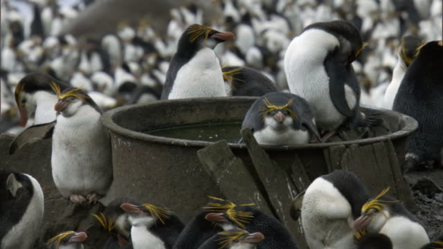 old oil industry equipment amongst royal penguin (eudyptes schlegeli) colony, macquerie island, australia - colony group of animals stock videos & royalty-free footage
