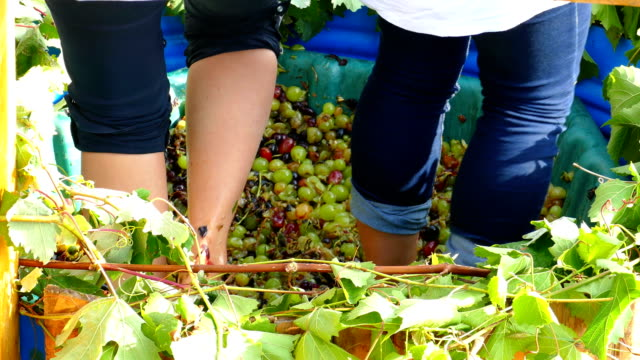 old traditions of wine production - press grapes with your feet