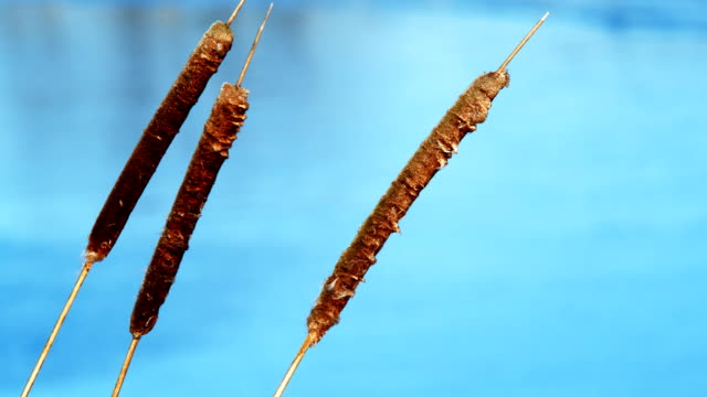old typha (1080p) - bulrush stock videos & royalty-free footage