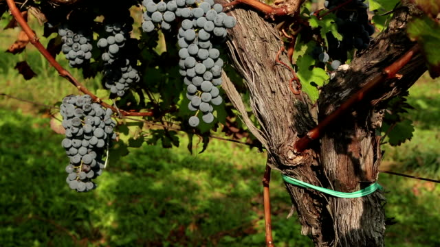 old vines and black grapes