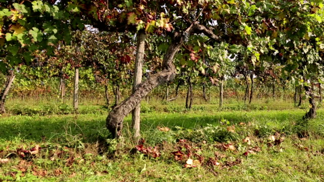old vines of black grapes