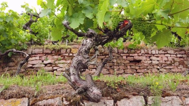 stockvideo's en b-roll-footage met old vines with sandstone wall - zandsteen
