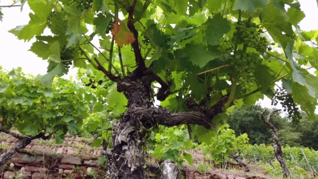 old vines with sandstone wall - vineyard stock videos & royalty-free footage