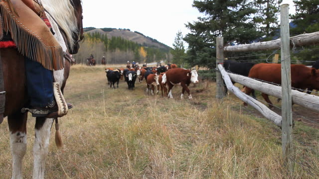 old west cattle roundup - cattle drive stock videos & royalty-free footage
