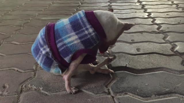 vídeos de stock e filmes b-roll de old white short hair chihuahua dog on concrete floor - cão miniatura