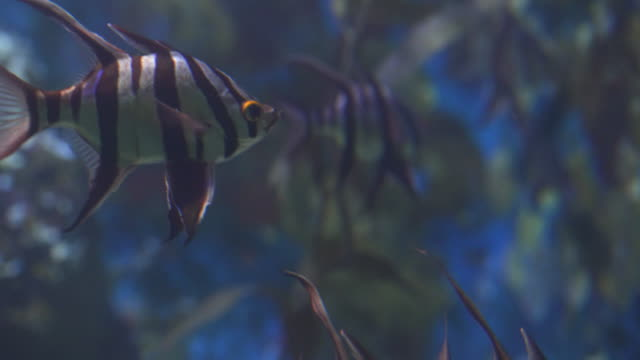 old wife is one of butterfly fishes, corral reef fish - butterflyfish stock videos & royalty-free footage