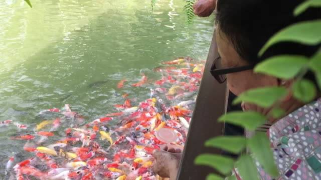 old woman feeding fancy carp or koi fish - nara prefecture stock videos & royalty-free footage