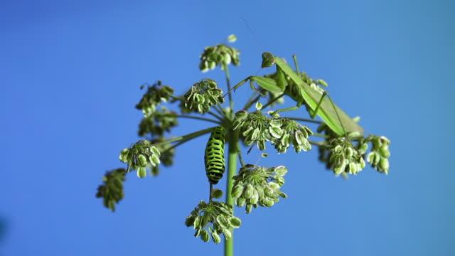 stockvideo's en b-roll-footage met old world swallowtail (papilio machaon) caterpillar and mantis - neerstrijken