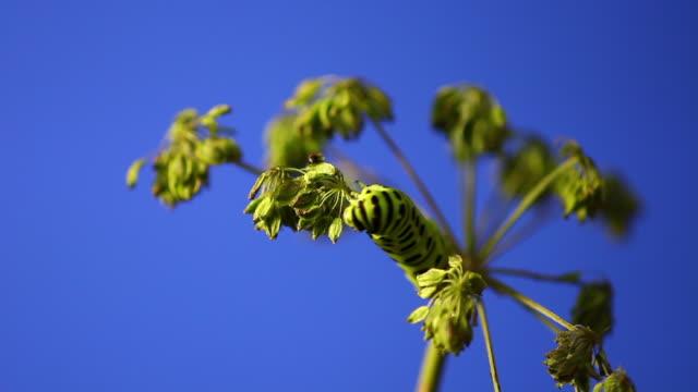 vídeos de stock, filmes e b-roll de old world swallowtail (papilio machaon) caterpillar eating leaf - parte do corpo animal
