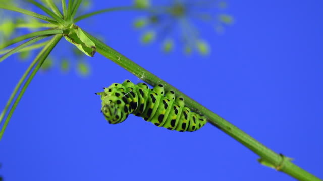 old world swallowtail (papilio machaon) caterpillar turning into a cocoon - morphing stock videos & royalty-free footage