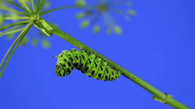 old world swallowtail (papilio machaon) caterpillar turning into a cocoon - animal mouth stock videos & royalty-free footage