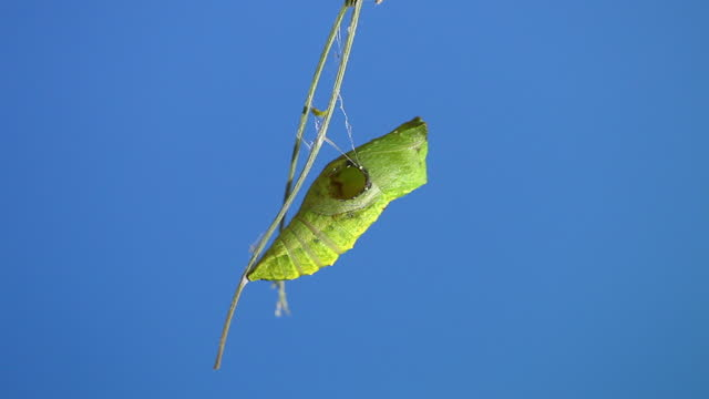 old world swallowtail (papilio machaon) cocoon failed to molt due to attack of parasitic bee - hole stock videos & royalty-free footage