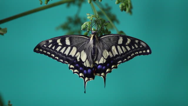 old world swallowtail (papilio machaon) - animal wing stock videos & royalty-free footage