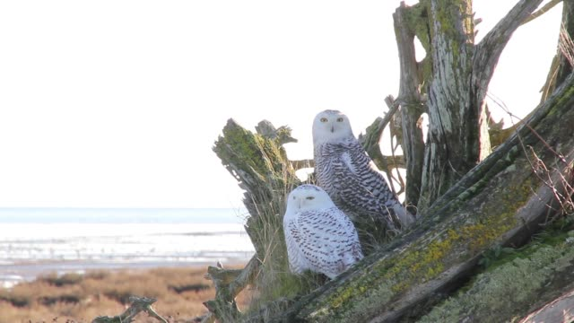 old & young snowy owl pair. - snowy owl stock videos and b-roll footage