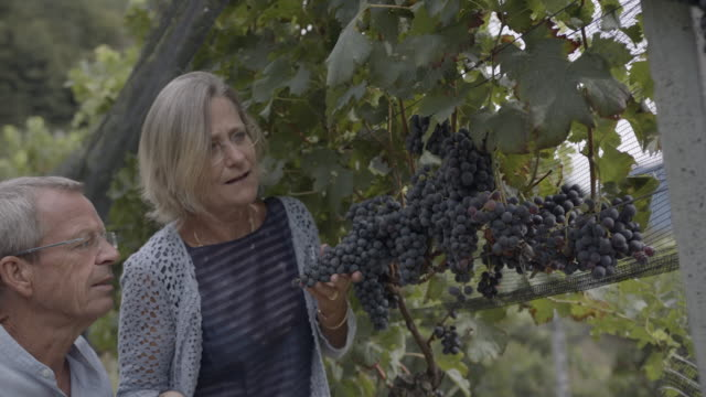older couple examining grapes hanging on a vine in a vineyard - grape stock videos & royalty-free footage