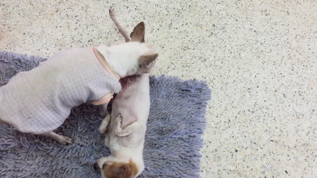 older female chihuahua licking her daughter - licking stock videos & royalty-free footage