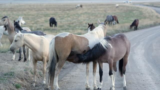 Older horse nursing on mother of almost the same size