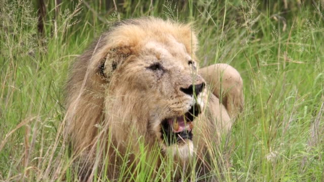 MS Older male lion lying down and panting in long grass / Pilanesberg National Park, North West Province, South Africa