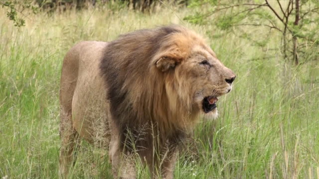 MS Older male lion panting in long grass / Pilanesberg National Park, North West Province, South Africa