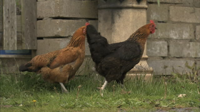 Older rooster walking by then leading young male out of frame wooden fencing stone wall BG
