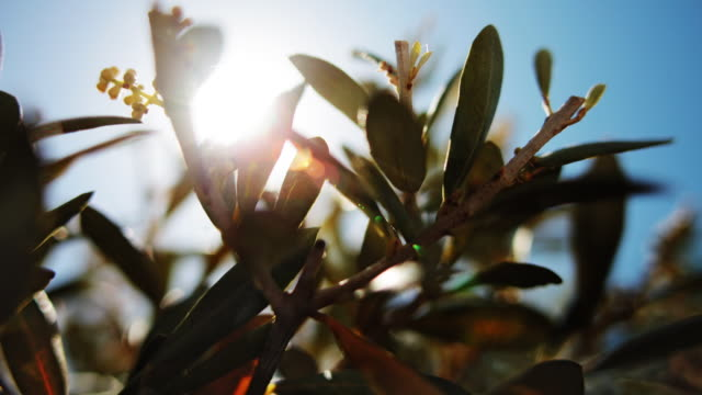 Oleander seeds close up