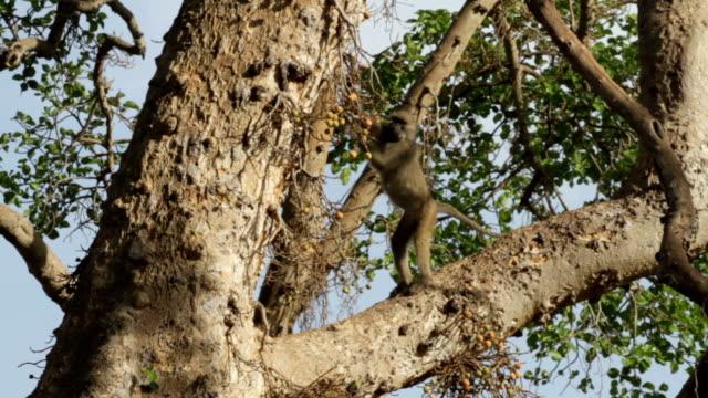 olive baboon (papio anubis) 2 - 一匹点の映像素材/bロール