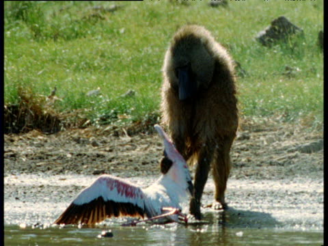 Olive baboon drags flamingo prey out of soda lake and begins to pluck it, Kenya