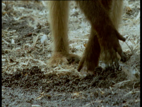 olive baboon forages through flamingo droppings as flies swarm around, kenya - zweiflügler stock-videos und b-roll-filmmaterial