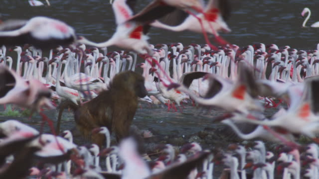 slomo ms olive baboon pounces on flamingo on rocks and flamingoes taking off in foreground - colony group of animals stock videos & royalty-free footage