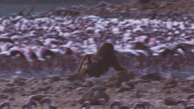 ms pan olive baboon running from camera on shoreline with flamingoes filling background  - seeufer stock-videos und b-roll-filmmaterial
