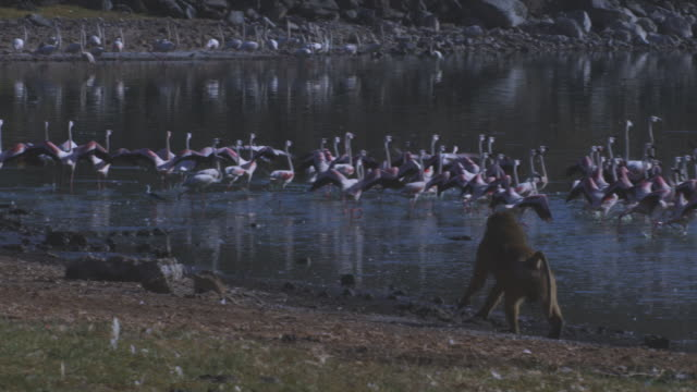 SLOMO Olive baboon runs along shoreline with flamingoes taking off in background