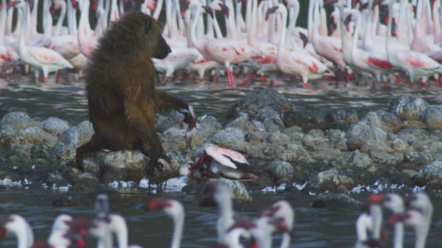 Olive baboon sitting on rock eating flamingo with flock filling foreground and background