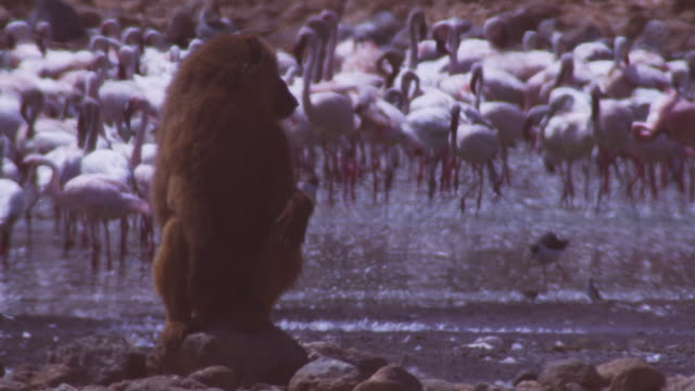 ms olive baboon sitting on rock looking around with flamingoes filling background  - 脅し点の映像素材/bロール