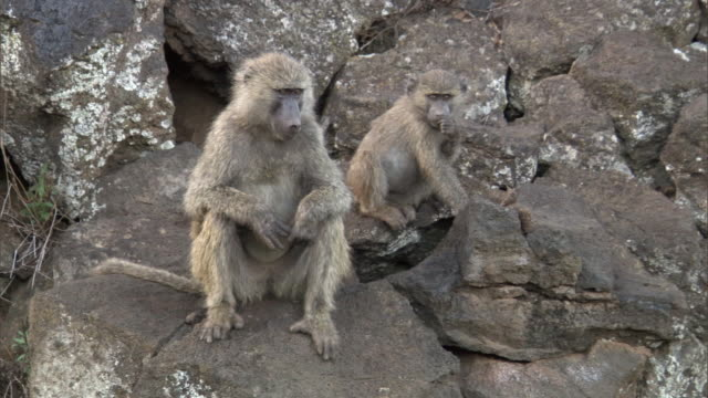 Olive baboons (Papio anubis) on rock ledge, Mount Suswa, Kenya