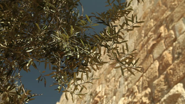 Olive Branches and the Wall of Jerusalem