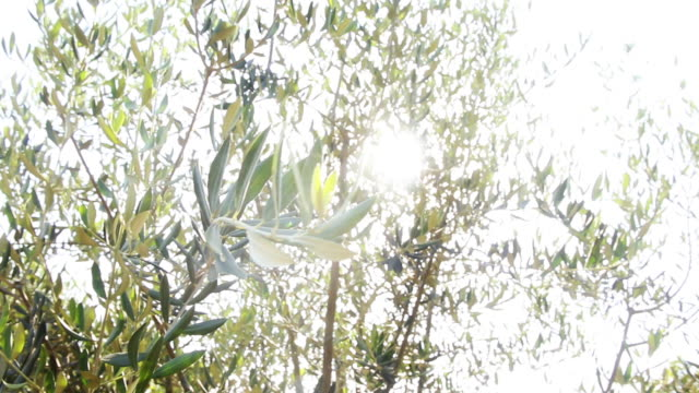 olive branches blowing in the wind in ojai - agritourism stock videos & royalty-free footage