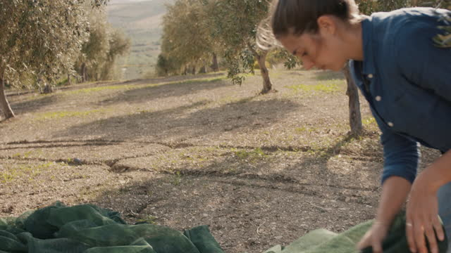 olive farmer gathering harvest net in orchard - picking up stock videos & royalty-free footage