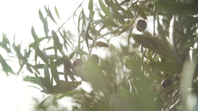 vidéos et rushes de olive fruit close up at a tree branch before vibration machine takes them out - branche partie d'une plante