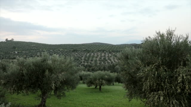 olive grove during harvest season in greece - grove stock videos & royalty-free footage