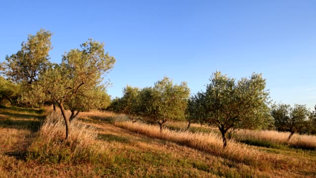 Olive grove in summer, Monticchiello, Val d'Orcia, Siena Province, Tuscany, Italy