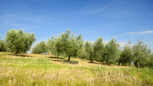 olive grove in summer, pienza, val d'orcia, siena province, tuscany, italy - grove stock videos & royalty-free footage