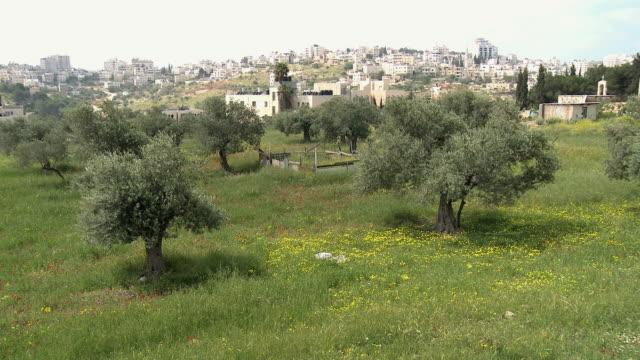 WS HA Olive Grove with buildings on hills in background / Al-Izzariya, West Bank, Israel